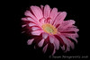 Happiness blooms from within (Susan Newgewirtz) Tags: nikond850 flower pink studiowork daisy