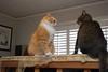 drama on the box springs (rootcrop54) Tags: jimmy orange male tabby cat cricket cats multiple boxsprings playing drama neko macska kedi 猫 kočka kissa γάτα köttur kucing gatto 고양이 kaķis katė katt katze katzen kot кошка mačka gatos maček kitteh chat ネコ