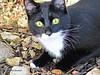 Visitando a Batman 010 (adioslunitaadios) Tags: batman gato mascota gatocomún airelibre campo canon macro mamífero