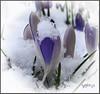 Spring. (Picture post.) Tags: flowers green nature crocus snow springtime winter ice vignette dof macro
