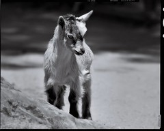 The first trip (diechrom) Tags: animal animals tiere tierpark tierfotografie tier chromik dietmarchromik blackwhitephotos blackwhitephotographie blackandwhitephotography blackandwhitephotos photoart bw bwphotos bwportraitphotography