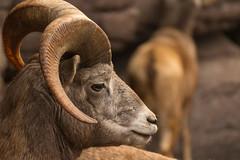Ovis canadensis (Michel Vedder) Tags: burgersdesert burgerszoo dikhoornschaap oviscanadensis animals dieren dierentuin zoo arnhem gelderland nederland nl