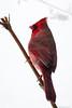 Perched Northern Cardinal (CoreyBourassaPhoto) Tags: 7d 7dmarkii 7dmii canon dslr ef100400f4556lisusm eos eos7dmii northerncardinal winter birds cardinal male outdoors red snow wildlife