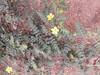 நெருஞ்சில் 8(Tribulus terrestris ) (Dr.S.Soundarapandian) Tags: tamilnadu medicinal herbal india thorn libido fertility yellow flower weed