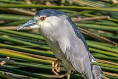 Look into my eyes......... (craig goettsch) Tags: hendersonbirdviewingpreserve2017 blackcrownednightheron reeds green avian nature wildlife nikon d500 coth5