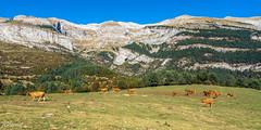 Pastos pirenaicos (Francisco Chornet) Tags: vacas pastos verde pirineos escuaín valle pradera ordesa sonystas sony fe1635f4 a7 paisaje landscape aragón huesca