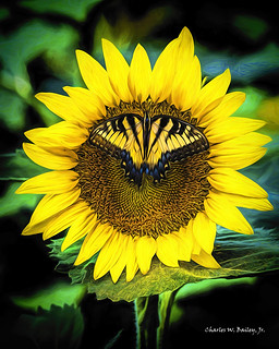 Digital Colored Pencil Drawing of a Butterfly on a Sunflower by Charles W. Bailey, Jr.