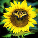 Digital+Colored+Pencil+Drawing+of+a+Butterfly+on+a+Sunflower+by+Charles+W.+Bailey%2C+Jr.