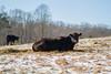 (RichardGlenSailors) Tags: canon 7d lseries 2470mm usm snow ice winter north georgia cow bovine cattle