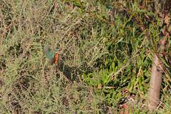 Kingfisher_Flight (hawaza) Tags: bird birds kingfisher inflight flying comingintoland riaformosa algarve portugal
