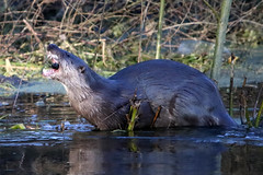Otter with unidentified freshwater shellfish (Karen Roe) Tags: santondownham village forestheath thetfordforest suffolk county england britain uk unitedkingdom greatbritain gb canoneos760d canon 760d 150600mm sigma contemporary zoom wildlife january 2018 peaceful quiet tranquil outside winter weather season camera photography photograph photographer picture image snap shot photo karenroe female flickr visit visitor river little ouse riverlittleouse water clear handheld hand held otter mammal wild