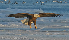 Mud Island 1-17-18 1185 (OUTLAW PHOTO) Tags: mudisland11718 dingellpark nationalgeographic wildlifephotography immaturebaldeagle baldeagle americanbaldeagle nature wildlife detroitriver michigandnr detroitriverinternationalwildliferefuge canonphotography canondslr canonlenses canon100400 canon7dmii outlawphoto outdoorphotography whenbirdsattack merganserduck