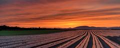 ile-259 (Tasmanian58) Tags: field strawberries sunset colors sun batis batis18 zeiss sony a7ii orleansisland quebec canada