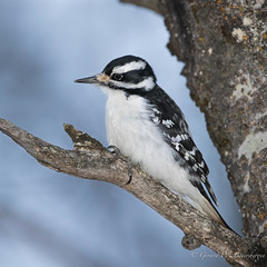 Hairy Woodpecker (Turk Images) Tags: aspenparkland hairywoodpecker picoidesvillosus alberta birds hawo picidae thorhild winter woodpeckers female