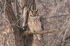 Sleeping Long Eared Owl