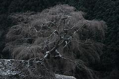 Winter of old cherry tree (HarQ Photography) Tags: winter snow tree cherry fujifilm fujifilmxseries xt2 nature landscape nara japan xf55200mmf3548rlmois
