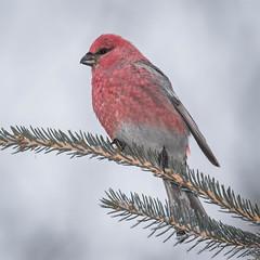 Pine Grosbeak - Male (Turk Images) Tags: aspenparkland pinegrosbeak pinicolaenucleator alberta birds fringillidae pigr thorhild winter