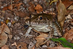 Giant Barred Frog (Mixophyes iteratus) (shaneblackfnq) Tags: giant barred frog mixophyes iteratus shaneblack amphibian watagans nsw new south wales australia