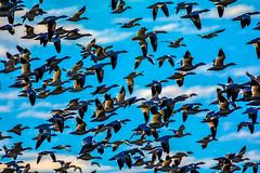 """Mass Take-off"" (Beangrau12) Tags: dogwood2018 week7 compositionfillthe frame snowgeese inflight sky clouds birds geese bird waterfowl middlecreekwildliferefuge pennsylvania tamron200500mm nikon3200"