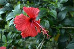 WOL Calauan Laguna Philippines Day 7 (57) (Beadmanhere) Tags: philippines flowers
