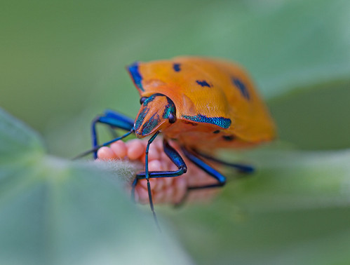 Hibiscus+harlequin+bug