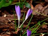 Die ersten Krokusse (chrisheidenreich) Tags: spring violett lila purple flower blumen