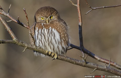 northern pygmy-owl (glaucidium gnoma) (punkbirdr) Tags: northernpygmyowl glaucidiumgnoma kusmin nikon d500 500mmedafsif4 tc14eii14x punkbirdrphoto birds birding