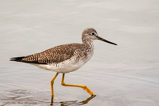 Greater Yellowlegs ©