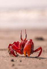 Hello Human ! I am Red crab :) (SaDa.KaLo) Tags: red crab gecarcoidea natalis bangladesh coxs bazar