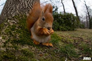 red squirrel, Eichhörnchen, Sciurus vulgaris @ Clara Zetkin Park, Leipzig, 2018