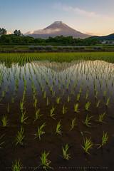 Mt Fuji Reflected In A Water Filled Rice Paddy (lestaylorphoto) Tags: japan yamanashi fuji mtfuji fujisan rice paddy reflection asia oriental travel nikon d610 leslietaylor lestaylorphoto 富士山 日本