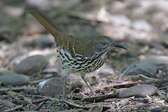 Long-billed Thrasher (Alan Gutsell) Tags: birds bird photo photography canon wildlife nature alan texas texasbirds rio grande longbilled thrasher long billed longbilledthrasher