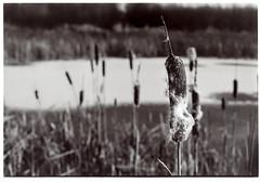 Winter scene (K.Pihl) Tags: winter pellicolaanalogica canonef50mmf18 selenium darkroom print nature blackwhite rodinal150 agfaapx100 schwarzweiss bw analog film canoneos50eelaniie bokeh