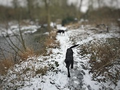 (neal1973) Tags: cray river water footscraymeadows bexley ice cold winter labrador dogs snow