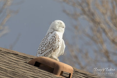 Nap time for the Snowy Owl