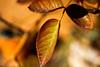 _DSC0843 (steven.frampton) Tags: nature rose leaves
