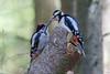 Dad feeding the offspring (Ron Winkler nature) Tags: great spotted woodpecker dendrocoposmajor dendrocopos major grote bonte specht bird birding birdwatching birdwatcher nature wildlife netherlands nederland europe canon 100400ii