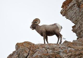 The Lookout - Bighorn Sheep Ram - 4290b+