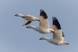 Ross's Goose in flight