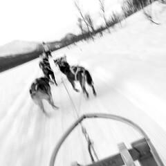 Full speed (Ed Bensink) Tags: husky bw black white norway tromso sled