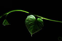 heart-shaped   |   SoS (NadzNidzPhotography) Tags: heart hearts 7dwf nadznidzphotography smileonsaturday heartshaped green blackbackground