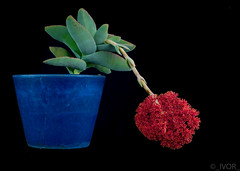 The Flower (Crassula Falcata) (_ Ivor_) Tags: studio succulent flower 35mmf18 nikond7200 d7200 california