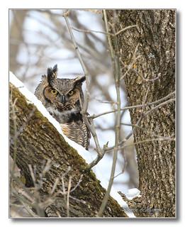 1E1A3403-DL   Grand-duc d'Amérique / Great Horned Owl.