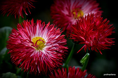 1-DSC_8928  pon pon daisies, February 2016 (profmarilena) Tags: ponpondaisies daisies reddaisies profmarilena macro closeup