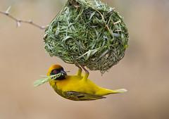 Southern Masked Weaver (Simon Shore) (Naturetrek Wildlife Holidays) Tags: naturetrek southern masked weaver