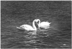 FEBRUARY 2018 NGM_7335_3977-1-222 (Nick and Karen Munroe) Tags: swans swan white lake lakeshore lakefront lakeontario jackdarlingpark mississauga ontario outdoors ontariocanada karenick23 karenick karenandnickmunroe karenmunroe karenandnick karen landscape munroedesigns munroephotography munroe nikon nickmunroe nickandkarenmunroe nature nikon2470f28 nickandkaren nick nikond750 d750 2470 2470f28 afs2470f28edg canada beauty beautiful brilliant blackandwhite bw blackwhite bandw monochrome mono water waterfront birds bird wildlife winter wintry