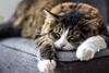 Chat Mallow 3/52 (Happy Adi) Tags: chat cat mallow cute mimi poilu poils fourrure endormi fatigué asleep strasbourg stras france alsace projet52 52project nice apresmidi afternoon sun soleil moustache canon 60d 50mm