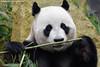 Giant Panda 'Xing Ya' - Ouwehands Dierenpark (Mandenno photography) Tags: dierenpark dierentuin dieren animal animals giant panda reuzen ouwehands ngc nederland netherlands nature rhenen