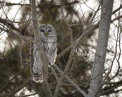 Barred Owl (Shayna Marchese) Tags: minnesota saxzimbog barredowl
