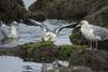 RWL_9611sg (rlowe3) Tags: yaquina bay herring spawn birds predation gulls seals sealions